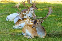 Deer in Bushy park, UK Royalty Free Stock Image