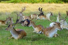 Deer in Bushy park, UK Royalty Free Stock Images