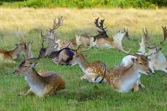 Deer in Bushy park, UK Royalty Free Stock Images