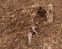 Deer Cached By Bobcat. A Black-tailed Deer cached by a Bobcat in northern California. Caching is used to limit decay and discovery by scavengers Stock Photo