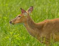 Deer Cade's Cove Great Smoky Mountain National Park Stock Images