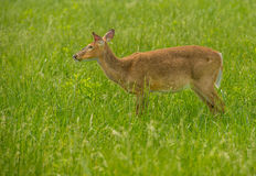 Deer in a Cade's Cove Great Smoky Mountain National Park Royalty Free Stock Images