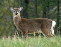 Deer in Cades Cove Royalty Free Stock Images