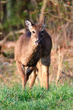 Deer in Cades Cove Stock Images
