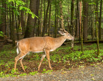 Deer in Cades Cove. Great Smoky Mountain National Park Stock Images