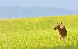 Deer at Cades Cove park. Female deer grazing on lush grass at Cades Cove valley in Great Smoky Mountains National Park royalty free stock image