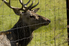 Deer in cage. Wild deer catched in a outdoor cage Stock Photo