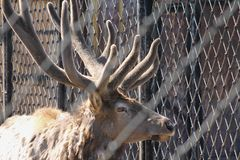 Deer in the cage. Animal behind cage in zoo. stock photo