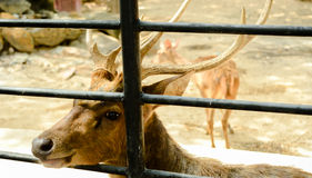 A deer in cage. A deer with antler in cage Stock Photography