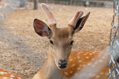 Deer in cage. Spotted deer, chital, in cage and looking camera Royalty Free Stock Photography