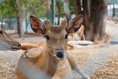 Deer in cage. Spotted deer, chital, in cage and looking camera Stock Image