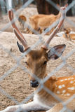 Deer in cage. Spotted deer, chital, in cage and looking camera Stock Images