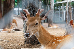 Deer in cage. Spotted deer, chital, in cage and looking camera Stock Photography