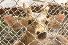 Deer in the cage. At Srisaket local zoo in Thailand Stock Image
