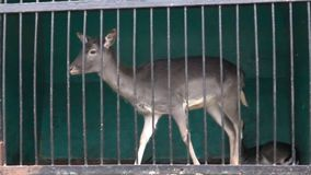 Deer in a cage. Super slow motion 1000 fps stock video footage