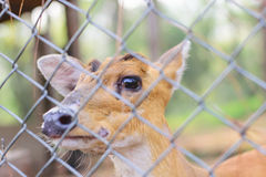 Deer in the cage Royalty Free Stock Photo