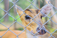 Deer in the cage Stock Photography
