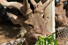 Deer in the cage Royalty Free Stock Photography