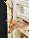 Deer. In cage in zoo Stock Photos