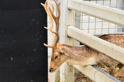 Deer. In cage in zoo Stock Image