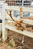 Deer. In cage in zoo Royalty Free Stock Images