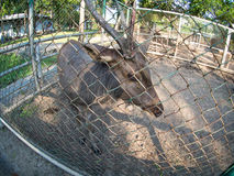 Deer in cage Royalty Free Stock Photo