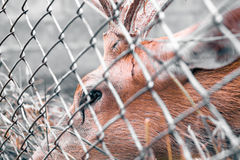 Deer in a cage at the zoo. Stock Photography