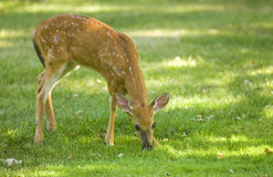 Deer calf Stock Photography