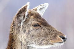 Deer calf close up portrait Royalty Free Stock Photography