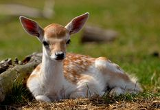 Deer calf in denmark Royalty Free Stock Image