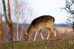 Deer calf grazing Royalty Free Stock Photo