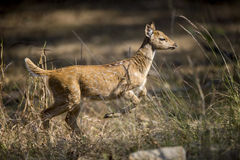 Deer calf running  Royalty Free Stock Image