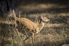 Deer calf running Royalty Free Stock Photo