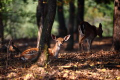 Deer calf in warm light Royalty Free Stock Photography
