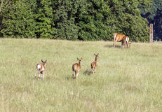 Deer calves running to their mothers Royalty Free Stock Photo