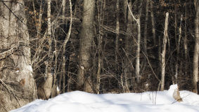 Deer in camouflage. A group of white-tailed deer, stand quietly camouflaged, in the forest.  Winter in Wisconsin Stock Photos