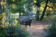 Deer in the camping of Grand Canyon Royalty Free Stock Photography
