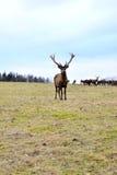 Deer in captivity Stock Photos