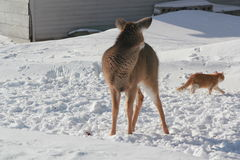 Deer. A deer and a cat on a farm royalty free stock photo