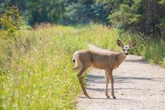 Deer caught in the headlights. A still deer still on a country road caught in the headlights stock photos