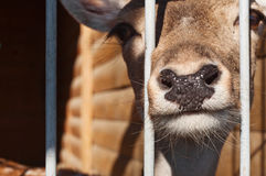 Deer into cells looking directly at you Royalty Free Stock Image