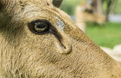 Deer Cervidae laydown sleeping concept Stock Photography