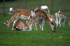 Deer Cervidae. A portrait of a herd of deer Stock Images
