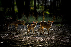Deer (Cervidae) rusa Stock Images