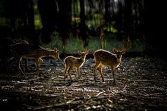 Deer (Cervidae) rusa Stock Images
