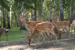 DEER Cervus elaphus Royalty Free Stock Image