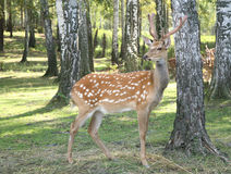 DEER Cervus elaphus Royalty Free Stock Photos