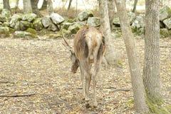 Deer (Cervus elaphus) Royalty Free Stock Photos