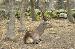 Deer (Cervus elaphus) Royalty Free Stock Photo