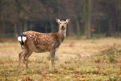 Deer Cervus nippon female Stock Image